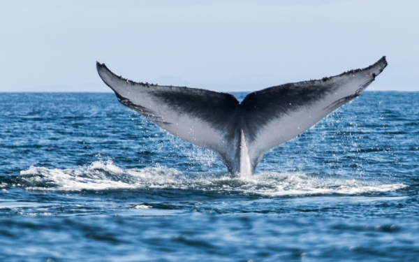 Voyager Whale Watching
