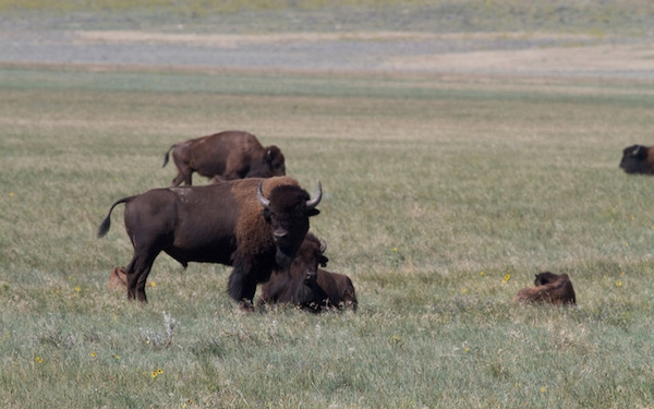 Feel the pull of the prairie on a uniquely American safari in Montana