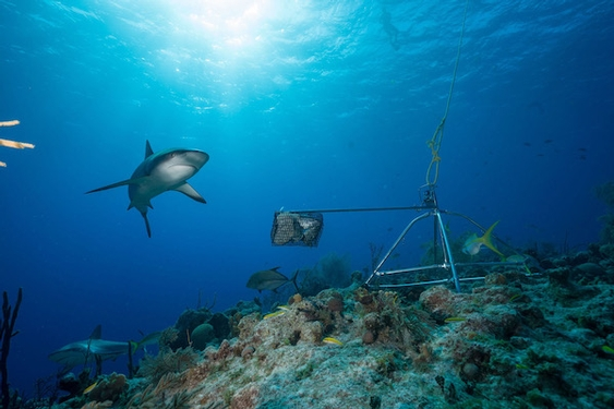 Sharks 'functionally extinct' in 20% of world's coral reefs, FIU-led study shows