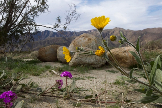 No wildflower 'super bloom' in California's Anza-Borrego desert this spring, but will late season