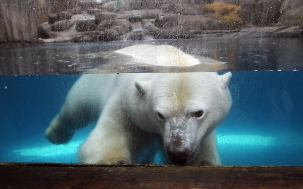 Captivity may cause stress for polar bears, but Arctic also poses problems