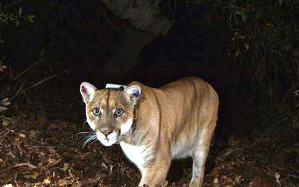 P-22 mountain lion just latest wild animal to find fame in Los Angeles