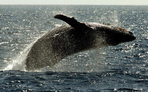 Most humpback whales could be removed from endangered species list