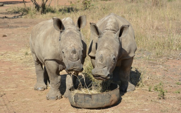 At South African orphanage, baby rhinos find a home after surviving poaching