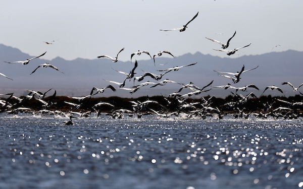 California lags on projects to protect wildlife at Salton Sea, officials say